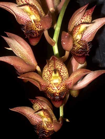 Catasetum schmidtianum (bronze x yellow)